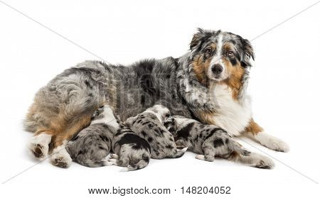 Group of 21 day old crossbreed between an australian shepherd and a border collie suckling from mother, isolated on white