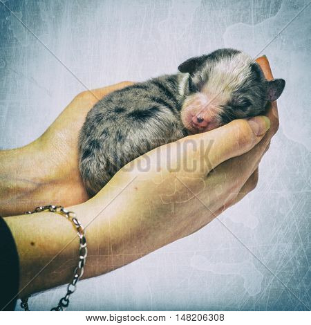 3 days old crossbreed puppy sleeping in hands against colored background