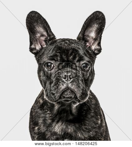 Close-up of French Bulldog Puppy, 6 months old, isolated on white