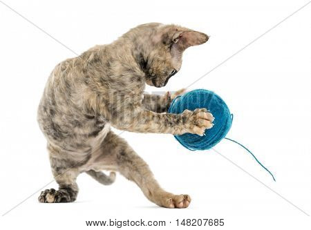Devon rex cat playing with a wool ball on hind legs isolated on white