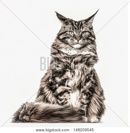 Maine Coon sitting and looking at the camera, isolated on white