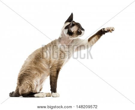 Devon rex pawing up isolated on white