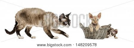 Mom Devon rex and her kittens playing isolated on white