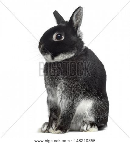Side view of a Dwarf rabbit sitting isolated on white