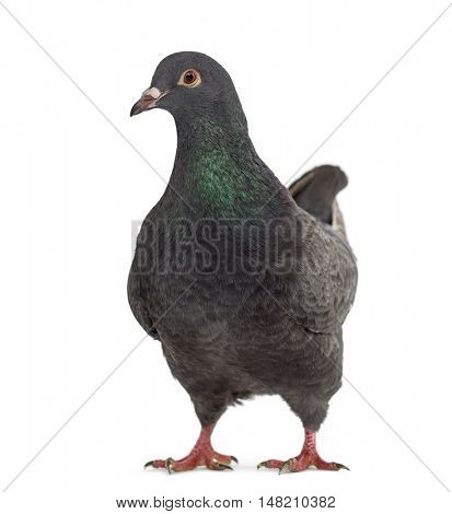 Front view of a fancy pigeon isolated on white