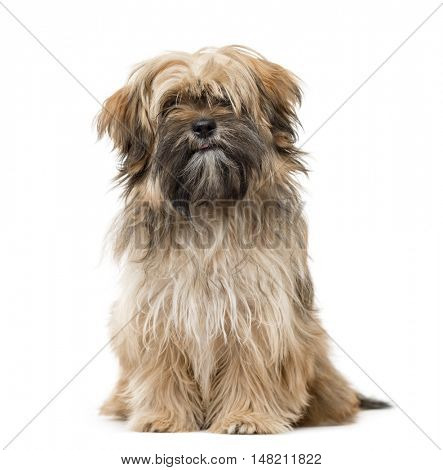 6 months old Shih Tzu puppy sitting and staring isolated on white