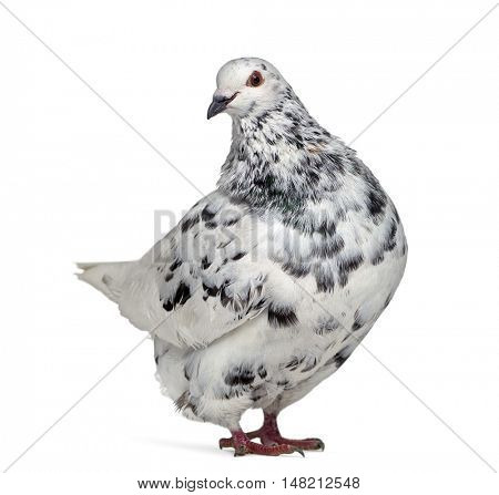 Side view of a Texan pigeon questioning isolated on white