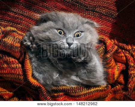 Big gray cat woke up in horror. Nightmares fear