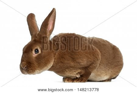 Side view of Rex rabbit leaning isolated on white