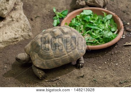 Hermann's tortoise (Testudo hermanni). Wildlife animal.