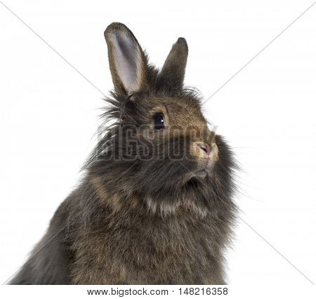 Close-up of Mini Lop Rabbit isolated on white