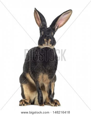 Belgian Hare facing isolated on white