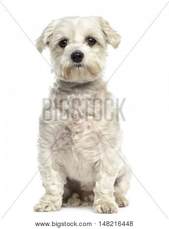 Bichon frise dog sitting and facing, isolated on white