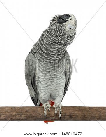 Perched African grey singing with eyes closed, isolated on white