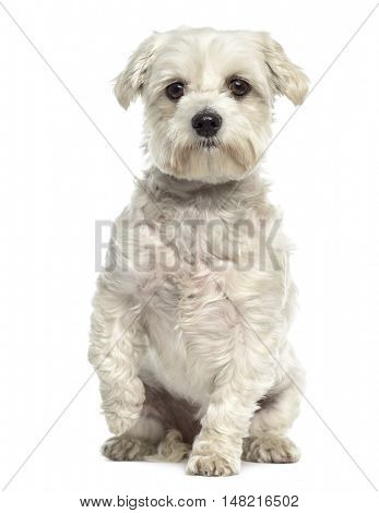 Bichon maltese dog pawing up isolated on white