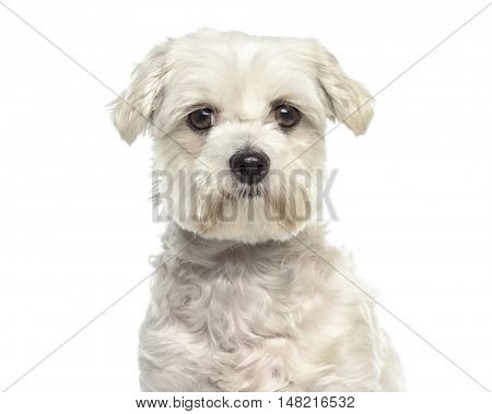 Close-up of Bichon maltese dog facing isolated on white