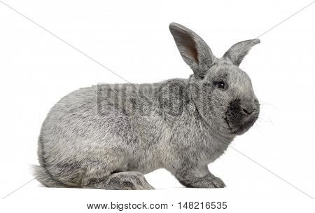 Side view of a Argente rabbit isolated on white