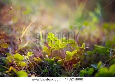 Leaflets Of Clover In The Sunshine. Beautiful Natural Background With Green And Soft Sunlight.