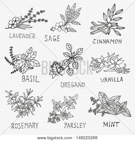 Hand Drawn Culinary Herbs