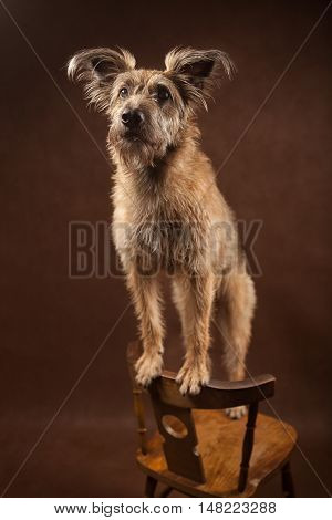 Portrait Of A Funny Brown And Fluffy Dog, Studio Shot