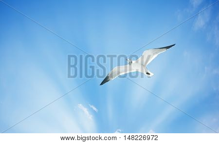 Flying Gull in Flight over bright sky background