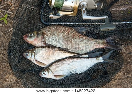 Several Common Bream Fish And Silver Bream Or White Bream Fish On The Natural Background. Catching F