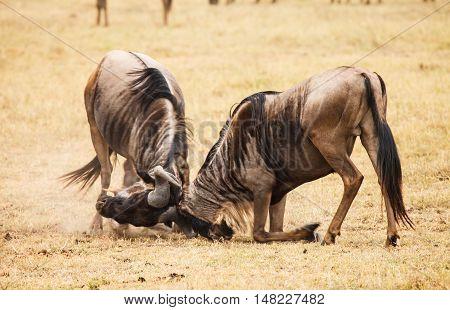 wilderbeast attack in wild kenya. animal in wild.