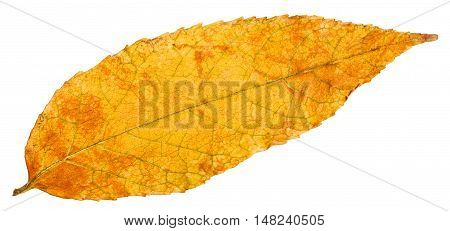 Yellow Autumn Leaf Of Ash Tree Isolated