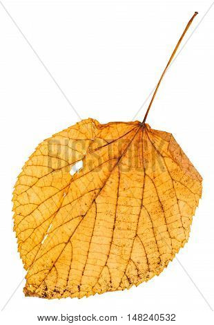 Yellow Fallen Leaf Of Linden Isolated