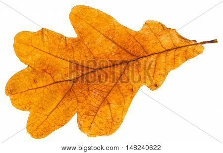 Yellow Autumn Leaf Of Oak Tree Isolated
