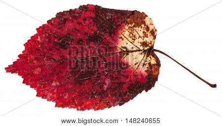 Red Dried Leaf Of Ash-leaved Maple Tree Isolated