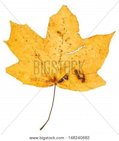 Yellow Fallen Leaf Of Maple Tree Isolated