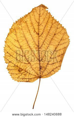 Yellow Autumn Leaf Of Linden Isolated