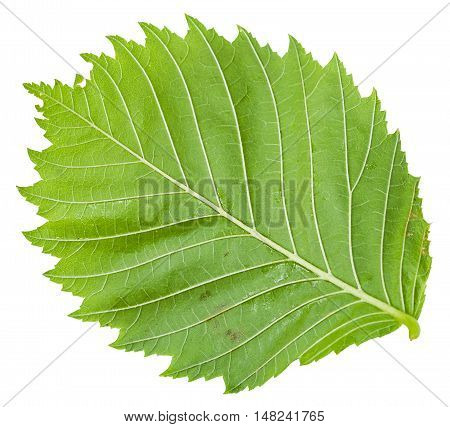 Back Side Of Green Leaf Of Elm Tree Isolated