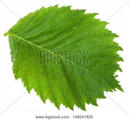 Green Leaf Of Elm Tree Isolated