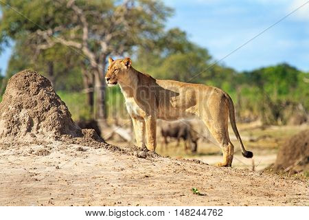 A lone lioness stands surveying the landscape with a natural bush background in Hwange national park