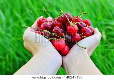 Girls hands full of ripe cherries on the nature background