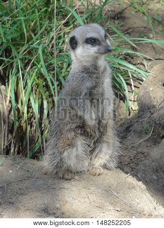 A meerkat observing its surroundings at a zoo