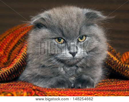 Sleepy dissatisfied gray fluffy cat. Portrait of a gray British lop-eared cat with yellow eyes