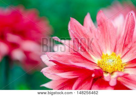Pink Gerbera flower closeup in Badajoz, Extremadura