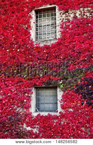 wall of the house surrounded by ivy