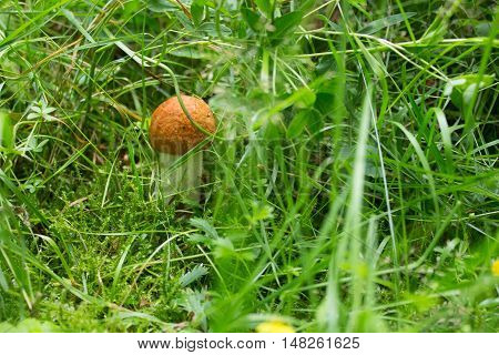 little orange birch boletus in the camp summer