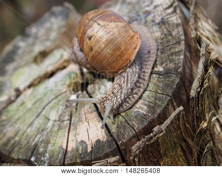 roman snail helix pomatia on dry trunk