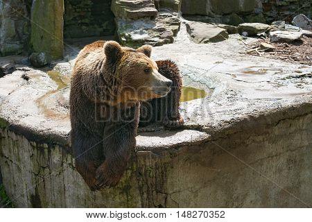 Big brown bear on the stone. Russia.