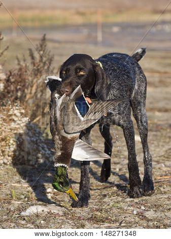 A duck hunting dog with a Mallard duck