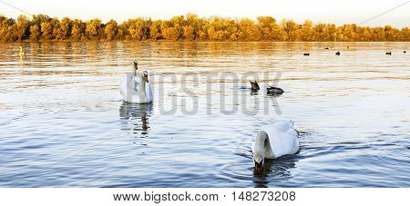 Swans at the river Danube Bathing and Swimming