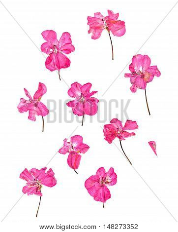 Pressed pink geranium set perspective. Dry delicate isolated flowers and petals of pelargonium