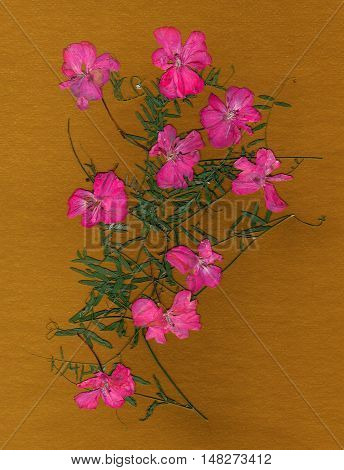 application a bouquet of dried pressing bright pink geranium flowers and small delicate leaves of sweet peas