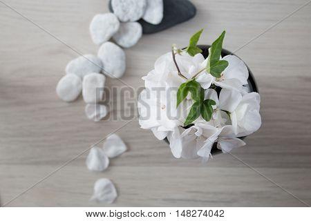 White pelargonium flower still life studio shot