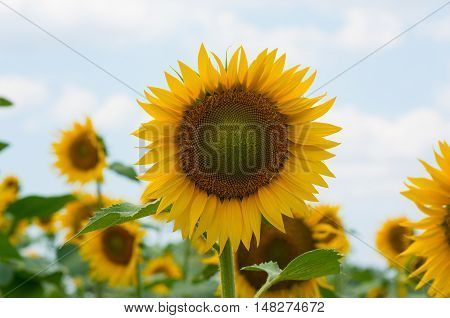 Sunflower against the sky. Sunflower close-up. Sunflower is an annual flowering plant.